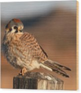 American Kestrel Giving Hunting Stare Wood Print