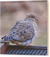American Mourning Dove Wood Print