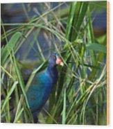 American Purple Gallinule Wood Print