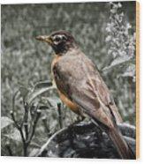 American Red Robin Wood Print