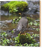 American Robin In Garden Springs Creek Wood Print