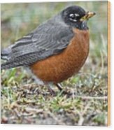 American Robin With Muddy Beak Wood Print
