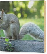 American Squirrel Wood Print