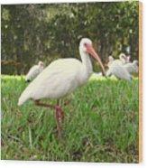 American White Ibis Birds In Orlando, Florida Wood Print