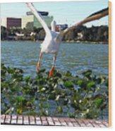 American White Pelican 007 Wood Print