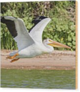 American White Pelican Above The Water Wood Print