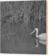 American White Pelican Among Reeds         Minnesota Zoo          Autumn Wood Print