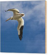 American White Pelican In Flight Wood Print
