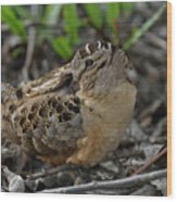 American Woodcock At Rest Wood Print