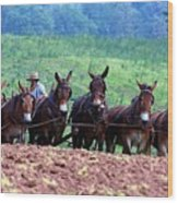 Amish Plowing The Fields With Mules Wood Print