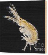 Amphipod Crustacean, Lm Wood Print