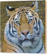 Amur Tiger 1 Wood Print