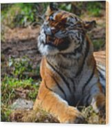 Amur Tiger 6 Wood Print