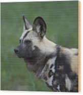 An African Hunting Dog Wood Print