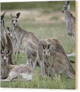 An Alert Mob Of Eastern Grey Kangaroos Wood Print