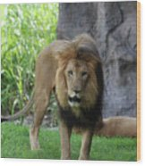 An Amazing Look At A Prowling Lion Standing In Grass Wood Print