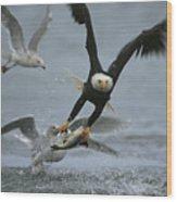 An American Bald Eagle Grabs A Fish Wood Print