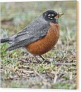 An American Robin With Muddy Beak Wood Print