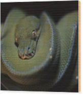 An Immature Green Tree Python Curled Wood Print