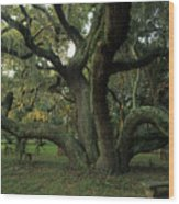 An Old Live Oak Draped With Spanish Wood Print by Michael Melford