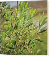 An Olive Tree Wood Print