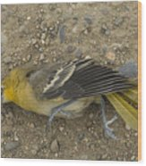 An Orchard Oriole On A Gravel Road Wood Print