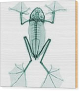An X-ray Of A Flying Frog Wood Print