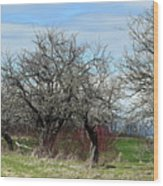 Ancient Apples Budding Out Wood Print