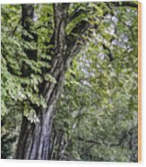 Ancient Tree Luxembourg Gardens Paris Wood Print