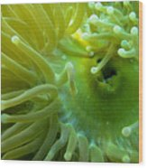 Anemone Shrimp2 Wood Print