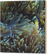 Anemonefish Hiding Wood Print