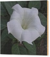 Angel Trumpet - Color Wood Print