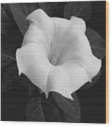 Angel Trumpet Wood Print