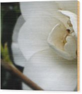 Angelic Camellia Wood Print by Mg Blackstock