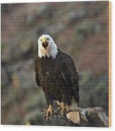 Angry Bald Eagle Wood Print