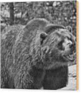 Angry Bear Black And White Wood Print