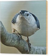 Angry White Breasted Nuthatch Wood Print