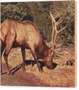 Animal - Elk -  An Elk Eating Wood Print