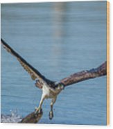 Animal - Bird - Osprey Catching A Fish Wood Print