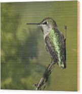 Anna's Hummingbird 3 Wood Print