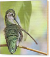 Anna's Hummingbird - Preening Wood Print