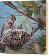 Anna's Hummingbirds Wood Print