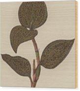 Anoectochilus Setaceus, Aurea Wood Print