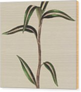 Anoectochilus Striatus Wood Print