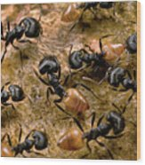 Ant Crematogaster Sp Group Wood Print