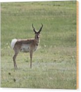 Antelope 3 Wood Print