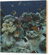 Anthias Fish, Anemonefish And Basslets Wood Print