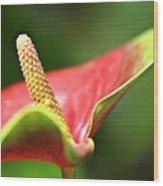 Anthurium Blossom Wood Print