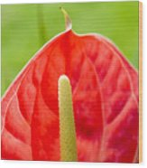 Anthurium Close-up Wood Print