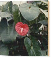 Anthurium Flower  Wood Print